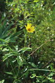 view Bidens mitis (Michx.) Sherff digital asset number 1