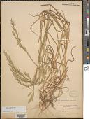 view Endiandra latifolia Kosterm. digital asset number 1