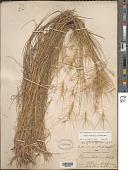 view Elymus multisetus (J.G. Sm.) Burtt Davy digital asset number 1
