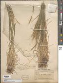 view x Pseudelymus saxicola (Scribn. & J.G. Sm.) Barkworth & D.R. Dewey digital asset number 1