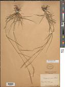 view Elymus repens (L.) Gould digital asset number 1