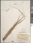 view Elymus semicostatus (Nees ex Steud.) Melderis digital asset number 1