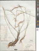view Aristida adscensionis L. digital asset number 1