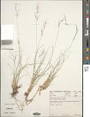 view Aristida junciformis Trin. & Rupr. digital asset number 1