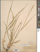 view Leymus cinereus (Scribn. & Merr.) Á. Löve digital asset number 1
