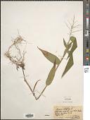 view Dichanthelium latifolium (L.) Harvill digital asset number 1