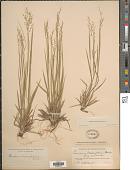 view Dichanthelium linearifolium (Scribn.) Gould digital asset number 1