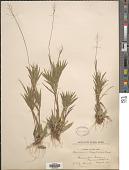 view Dichanthelium portoricense (Desv. ex Ham.) B.F. Hansen & Wunderlin digital asset number 1