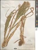 view Panicum miliaceum L. digital asset number 1