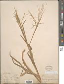 view Panicum paludosum Roxb. digital asset number 1