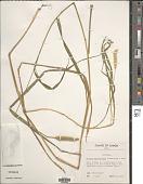 view Setaria pallide-fusca (Schumach.) Stapf & C.E. Hubb. digital asset number 1