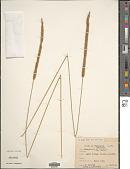 view Setaria sphacelata (Schumach.) Stapf & Hubb. ex Moss digital asset number 1