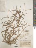 view Paspalum conjugatum P.J. Bergius digital asset number 1