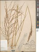 view Arundinella hispida (Humb. & Bonpl. ex Willd.) Kuntze digital asset number 1