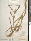 view Coix lacryma-jobi L. digital asset number 1