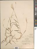 view Microstegium glabratum (Trin.) Camus digital asset number 1