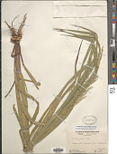 view Coleataenia anceps (Michx.) Soreng digital asset number 1