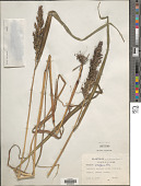 view Sorghum bicolor (L.) Moench digital asset number 1