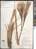 view Andropogon bicornis L. digital asset number 1