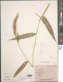 view Garnotia arundinacea Hook. f. digital asset number 1