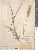 view Bothriochloa laguroides (DC.) Herter subsp. laguroides digital asset number 1