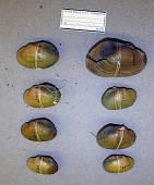view Simpsonella purpurea digital asset number 1