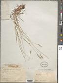 view Dichanthium caricosum (L.) A. Camus digital asset number 1
