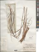 view Andropogon gracilis Spreng. digital asset number 1