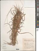 view Heteropogon melanocarpus (Elliott) Benth. digital asset number 1