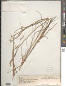 view Hyparrhenia hirta (L.) Stapf digital asset number 1