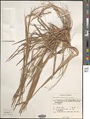 view Heteropogon contortus (L.) P. Beauv. ex Roem. & Schult. digital asset number 1