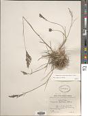 view Eragrostis atrovirens Lange digital asset number 1