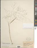 view Eragrostis capillaris (L.) Nees digital asset number 1