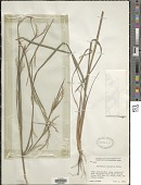 view Schizachyrium sanguineum (Retz.) Alston digital asset number 1