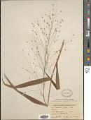 view Isachne walkeri (Arn. ex Steud.) Wight & Arn. ex Hook. f. digital asset number 1