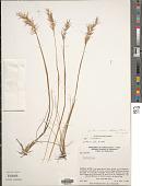 view Danthonia secundiflora J. Presl digital asset number 1
