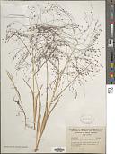 view Eragrostis spectabilis (Pursh) Steud. digital asset number 1