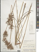 view Hyparrhenia bracteata (Humb. & Bonpl.) Stapf digital asset number 1