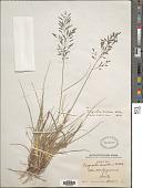 view Eragrostis swalleni Hitchc. digital asset number 1
