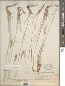 view Danthonia alpina Vest digital asset number 1