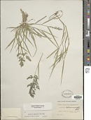 view Eragrostis cilianensis (Bellardi) Vignolo ex Janch. digital asset number 1