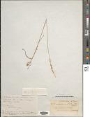 view Pentameris ecklonii (Nees) Galley & H.P. Linder digital asset number 1