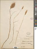 view Pentameris curvifolia (Schrad.) Steud. digital asset number 1