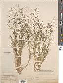 view Eragrostis pectinacea (Michx.) Nees digital asset number 1