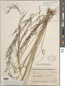 view Eragrostis hirta E. Fourn. digital asset number 1
