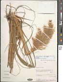 view Cortaderia bifida Pilg. digital asset number 1