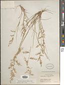 view Eragrostis maypurensis (Kunth) Steud. digital asset number 1