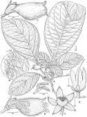 view Alsobia baroniae L.E. Skog & Barrie digital asset number 1
