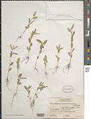 view Corchorus orinocensis Kunth digital asset number 1
