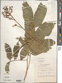 view Sapindus saponaria L. digital asset number 1